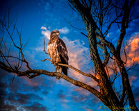 A juvenile bald eagle suns itself at dawn