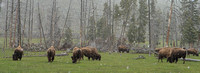 Bison grazing by the roadside