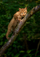 bobcat kitten on big branch  (K8)