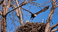 Bald Eagle Flight from Nest
