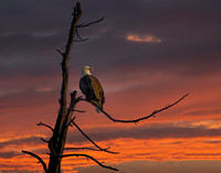Bald eagle sunrise YNP (1 of 1)
