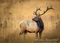Bull elk  Yellowstone (1 of 1)