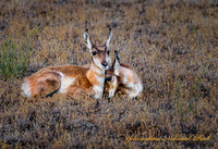 Pronghorn twin fawns (1 of 1)