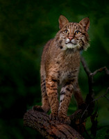 Bobcat poses on tree branch (A3)