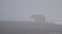Grizzly mom in the fog