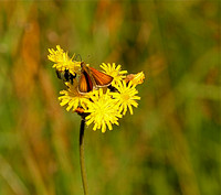 Skipper on Hawkweed