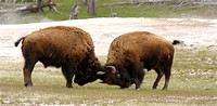 Bison butting heads...