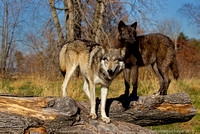 Grey Wolf and wolf pup