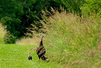 Wild female turkey and chicks (poults)