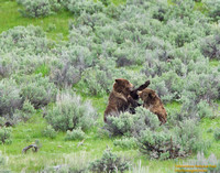 A Grizzly spat