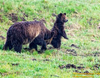 Mother grizzly and cub- YNP