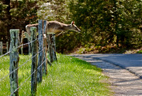 Up and Over- deer jumping the fence at Cades Cove