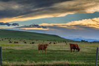 cattle on the Rocky Mountain front range 12x18