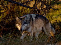 a grey wolf stalks at sunset