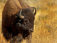 Bison Profile