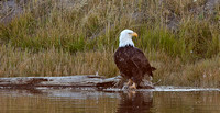 Bald eagle by the Madison River (YNP)
