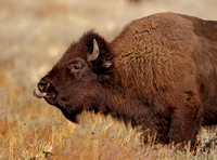 Bison in GTNP