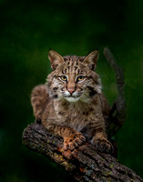 bobcat poses on tree branch  (A1)
