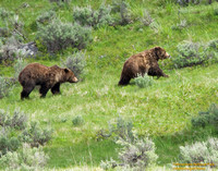 A Grizzly Chase
