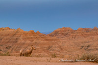 Badlands bighorn ewe (1 of 1)