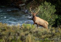 Bull elk  by Gardiner river (1 of 1)