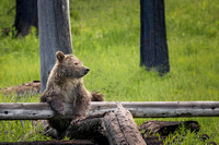 Sittin' Pretty (YNP Grizzly cub, Snow)