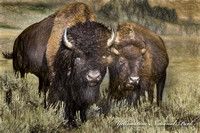 Bison pair  (1 of 1)