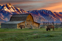 John Moulton barn with bison