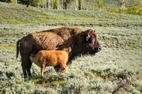bison baby feeding (1 of 1)