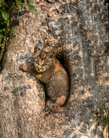 bobcat kitten in tree (K7)